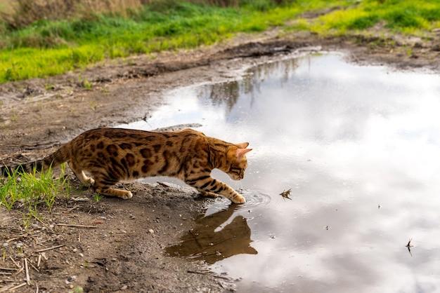 ベンガル猫が足で水に優しく触れる