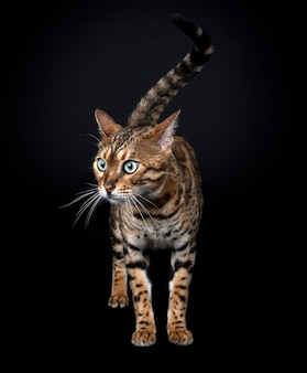 Бенгальская кошка на черном фоне