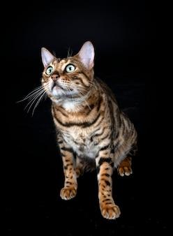 Бенгальский кот перед черной стеной