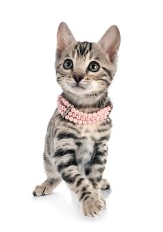 흰색 표면 앞 벵골 고양이
