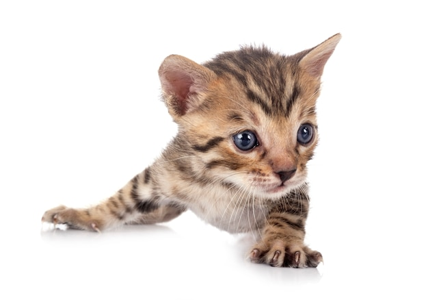 Бенгальская кошка перед белым