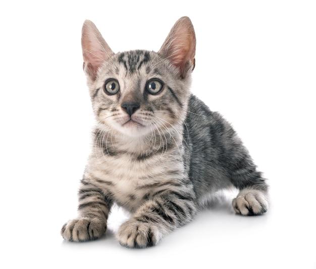 흰색 절연 앞에 벵골 고양이