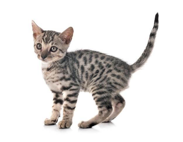孤立した白い上の前のベンガル猫