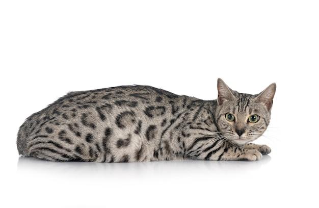 目の前のベンガル猫