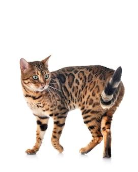 Бенгальская кошка в студии