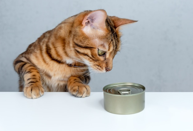 Bengal cat is about to eat wet food from a can