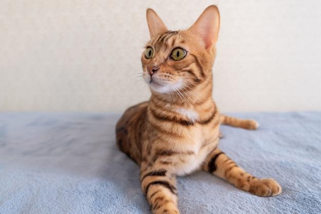 ベンガル猫は明るい部屋のソファで休んでいます
