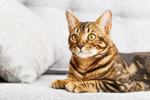 Бенгальский кот сидит на сером диване