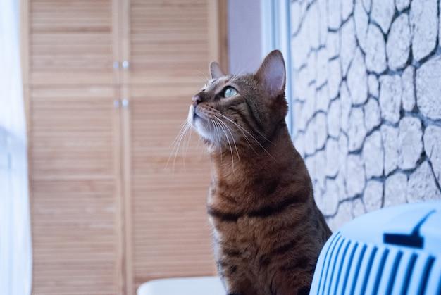 Бенгальский кот думает о чем-то, глядя в окно