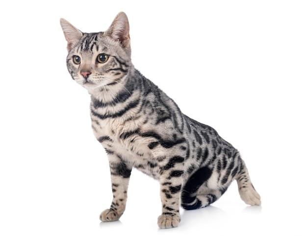 벵골 고양이 흰색 절연