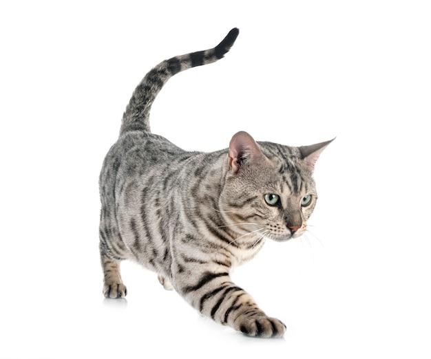 Бенгальская кошка, изолированные на белом фоне