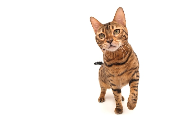 Бенгальский кот. изолированные