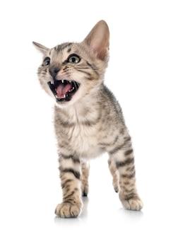 벵골 고양이 절연