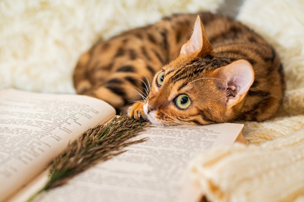 Bengal cat kitten lies next to a book on knitted sweater in cozy atmosphere