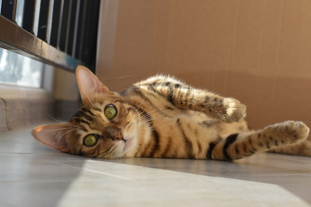 ベンガル猫はバルコニーの床に横たわっています