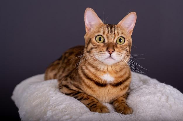 まっすぐに見える白い枕の上のベンガル猫