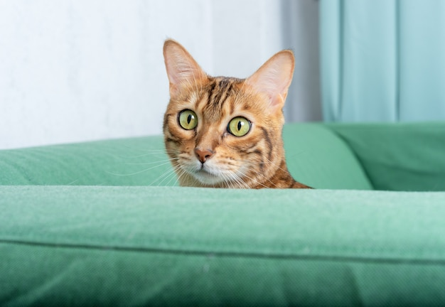 Bengal cat peeks out of the armrest of the sofa in the living room