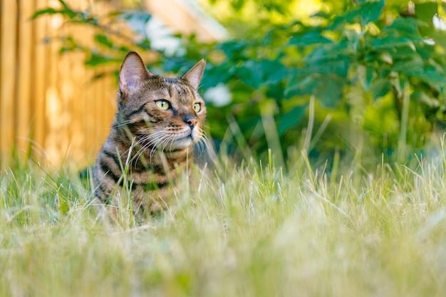 Бенгальский кот отдыхает на лужайке в тени куста