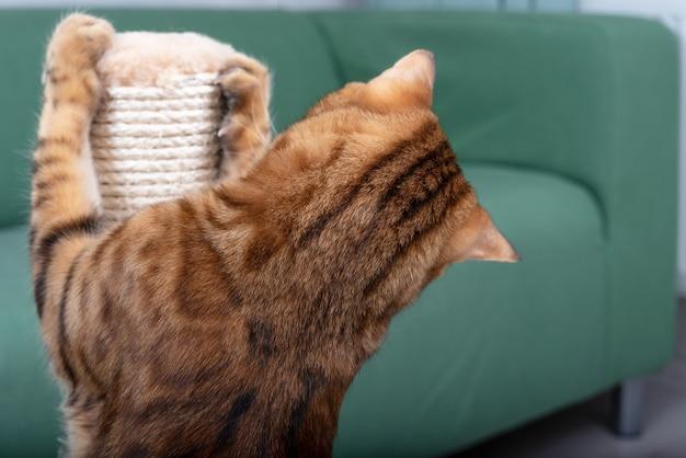 ベンガル猫が引っかき棒の爪を研ぐ、背面図