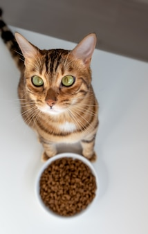 벵골 고양이는 마른 고양이 먹이 그릇, 평면도 근처에 앉아있다.