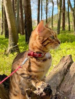 ベンガル猫は森の中の木の切り株に座っています