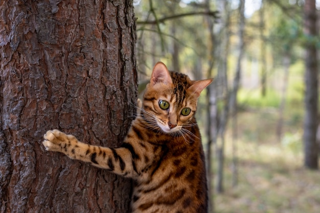 Bengal cat on a tree in the forest. the cat grabbed the tree with its claws.