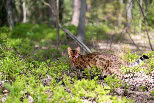 草の間の公園を歩くベンガル猫