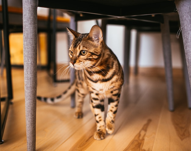 Bengal cat walks under table in the kitchen