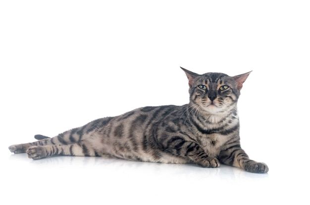 Bengal cat on white isolated