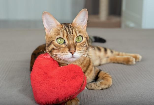 발렌타인 데이에 마음을 가진 벵골 고양이가 주인에게 사랑을 고백합니다.