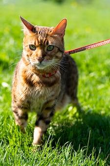 緑の草の上を歩くひもでつなぐベンガル猫
