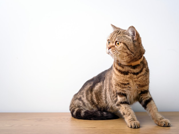 Bengal cat with space for advertizing and text