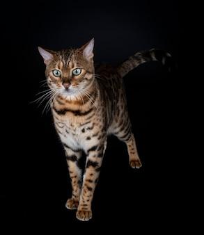 Бенгальская кошка Premium Фотографии