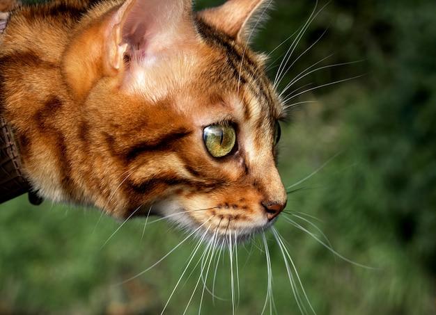 Бенгальская домашняя кошка внимательно смотрит в сторону