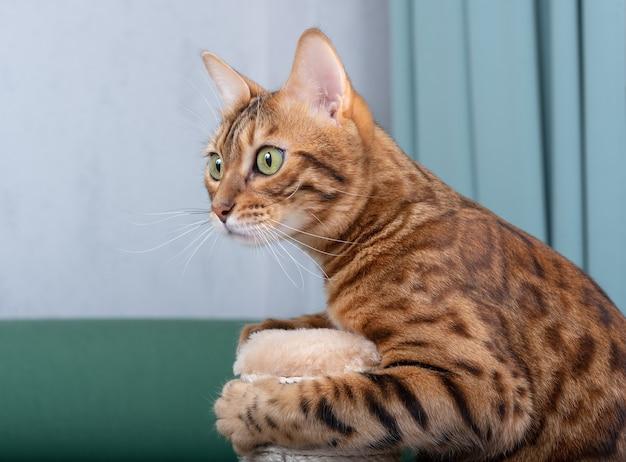Бенгальская домашняя кошка взбирается на когтеточку, вид сбоку