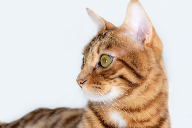 白い背景の上のベンガル飼い猫のクローズアップ、横に見える