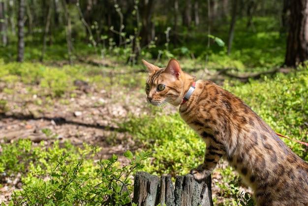 森の中を散歩するベンガル飼い猫が切り株の上に立つ