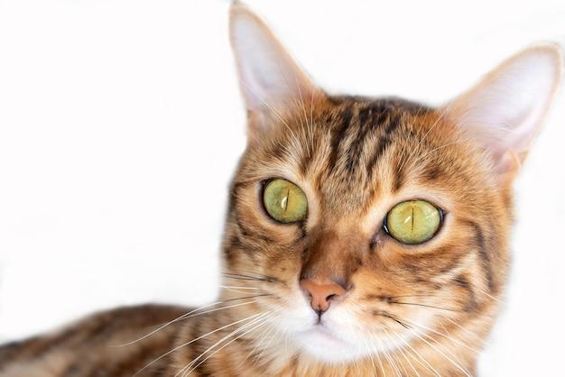 白い背景、正面図にベンガル飼い猫の頭のクローズアップ