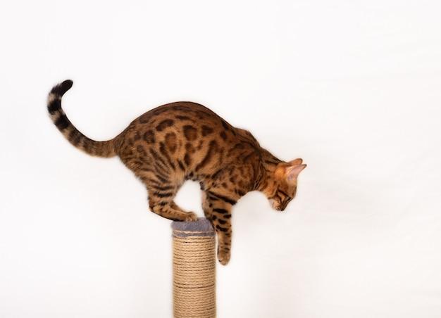 흰색 바탕에 게시물을 긁 적에서 점프하는 벵골 고양이