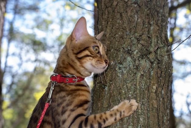 Бенгальская домашняя кошка смотрит в сторону