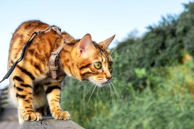 Бенгальская домашняя кошка сидит на бревне