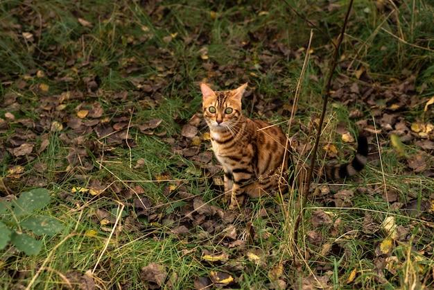 ベンガル飼い猫は秋の落ち葉の間で草の上に座っています