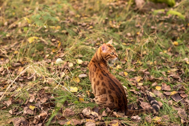 晴れた秋の日にベンガル飼い猫が森の中を歩きます。
