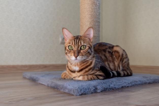 ベンガルのブリティッシュショートヘアの猫が部屋に横たわってカメラを見る