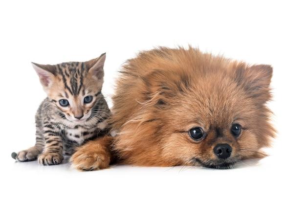 Бенгальский котенок и померанский шпиц