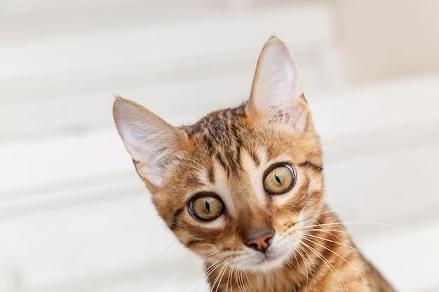 벵골 새끼 고양이입니다. 벵골 새끼 고양이의 아름다운 총구가 닫습니다.