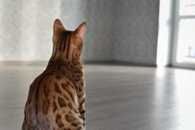 空の部屋でベンガル子猫