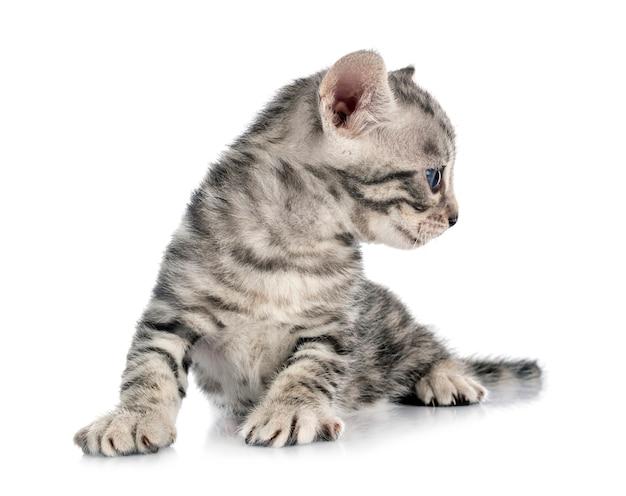 Бенгальский котенок на белом фоне