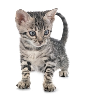 Бенгальский котенок в студии