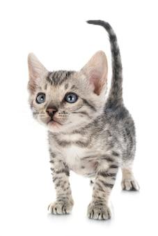 白い背景の上のベンガル子猫